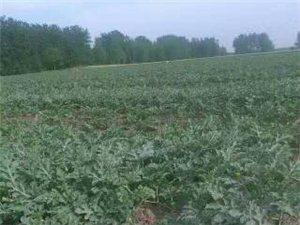 长年出售纯红薯细粉,紫薯,西瓜,粘玉米等土特产