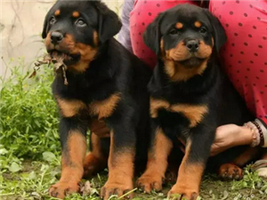 澳门拉斯维加斯注册卖罗威纳澳门拉斯维加斯注册卖罗威纳澳门拉斯维加斯注册狗场出售纯种罗威纳