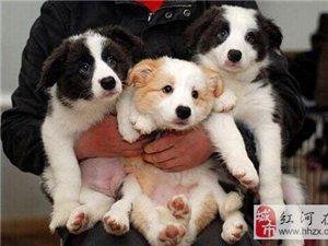 澳门拉斯维加斯注册卖边牧澳门拉斯维加斯注册卖边牧澳门拉斯维加斯注册狗场出售纯种边牧
