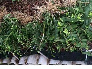 铁皮石斛中药材种植种苗必威体育娱乐