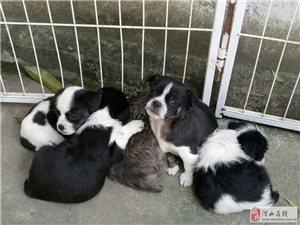 潛山要寵物狗小法斗的聯系。電話:138666310