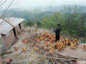 生态果园粮食鸡+土鸡蛋