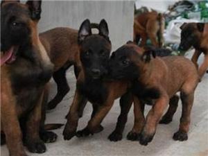 紅河賣馬犬紅河賣馬犬紅河狗場出售純種馬犬