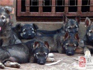 紅河賣昆明犬紅河賣昆明犬紅河狗場出售純種昆明犬