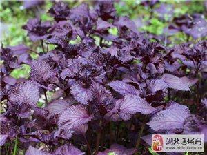 大量赤叶紫苏(观音紫苏)苗出售