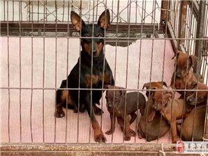 出售:家养小鹿犬