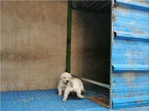 出售拉布拉多小狗,有意的联系