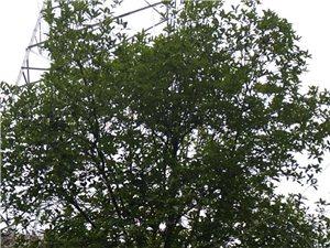 院内有两棵桂花树(黄桂)急出售,直径15公分左右