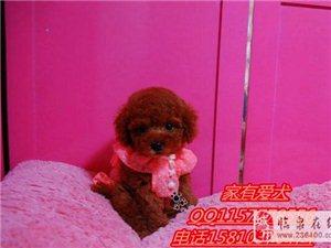 北京哪里有卖泰迪泰迪多少钱泰迪颜色