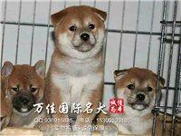 北京正規養殖場繁育純血統日系柴犬上門挑選能見狗父母