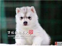 純種哈士奇犬價格北京哪賣哈士奇犬疫苗驅蟲已做完