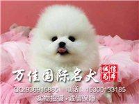 北京本地出售高品質博美犬家養純種博美純種博美多
