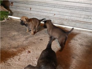 崇州5只纯种马犬出售