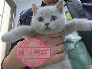 英短蓝猫蓝白出售