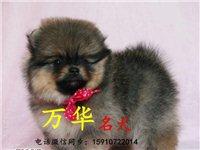 三个月赛级博美幼犬多少钱纯种博美好养吗