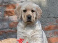 赛级拉布拉多幼犬纯种血系协议质