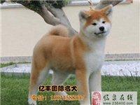 北京日系秋田幼犬出售纯种秋田价格