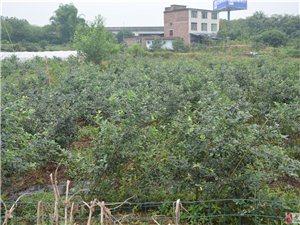 合江县榕山镇蓝莓园