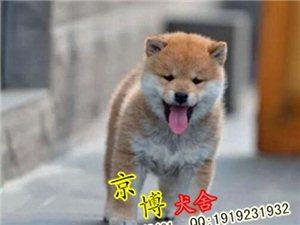 日系柴犬��N家�B柴犬出售3��月柴犬包��N健康