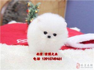 博美犬纯种博美幼犬3个月博美哈多利血系博美