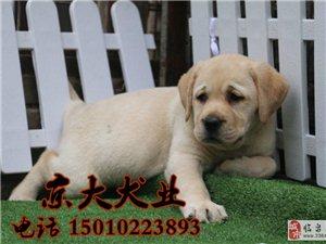 拉布拉多幼犬哪里购买拉布拉多犬价格京大犬业
