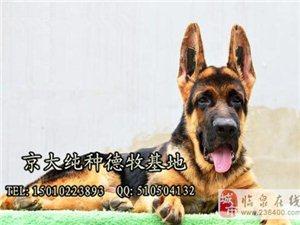 锤系德牧纯种德国牧羊犬低价出售健康质保30天