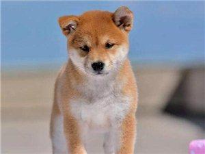 赛级柴犬多少钱纯种柴犬价格亿丰犬舍直销