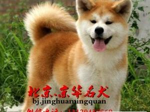 北京哪里出售秋田犬纯种秋田幼犬秋田价格