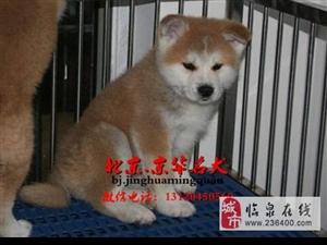 北京哪里卖柴犬纯种柴犬多少钱哪里卖柴犬