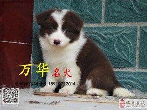 边牧什么价位北京哪里买边牧好北京哪家狗场卖