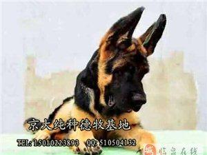 锤系德牧犬北京德牧幼犬出售德牧多少钱一只