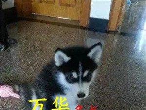北京出售纯种三把火蓝眼睛哈士奇幼犬保健康