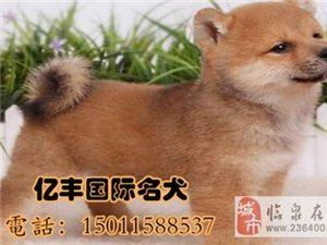 北京柴犬多少钱双血统柴犬价格亿丰犬舍
