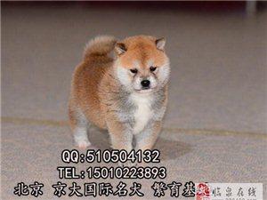 柴犬赛级柴犬多少钱一只