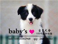邊境牧羊犬健康出售北京邊境牧羊犬多少錢一只
