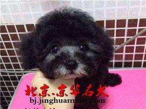 北京泰迪犬舍纯种泰迪幼犬出售可送货上门