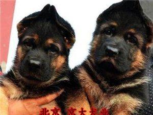 锤系德牧犬北京德牧幼犬德牧多少钱一只