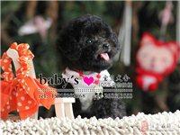 北京有茶杯泰迪出售嗎純種泰迪幼犬多少錢一只