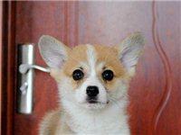 北京哪賣柯基幼犬純種柯基犬高品質柯基犬保健康
