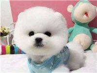 北京哪賣博美幼犬哈多利球體博美包健康包血統多