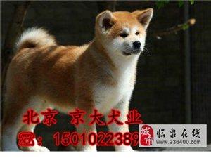 纯种日系秋田犬出售忠犬八公保纯种健康欢迎来参