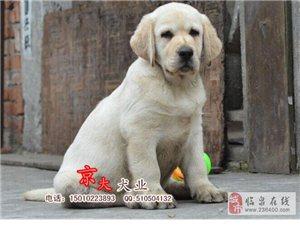 纯种拉布拉多犬北京拉布拉多专业繁殖犬舍