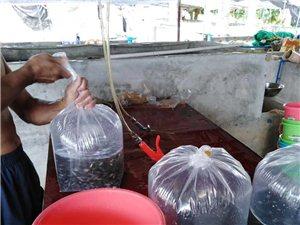 长期供应优质攀鲈鱼苗,俗称过山鲫,全国可发航空!