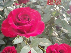 云南月季花_云南會澤駿森花卉種苗基地