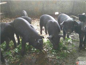 赤土店劉竹村蠻子溝養殖基地有黑豬出售