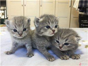 英國短毛貓 低價出售啦 ~