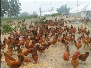 端午将至,颍上丽达散养生态土公鸡,从今日对外出售