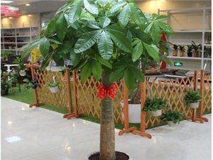 白馬井(海花島)鮮花綠植盆景出租,日租,月租,年租