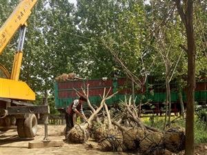 山東濱州12公分白蠟樹價格