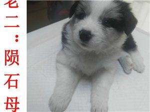 出售�牧幼犬
